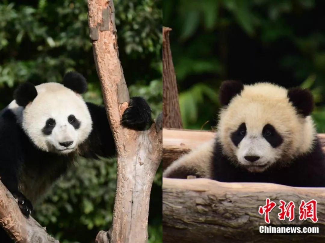 """资料图:大熊猫""""如意""""和""""丁丁""""。李传有 摄"""