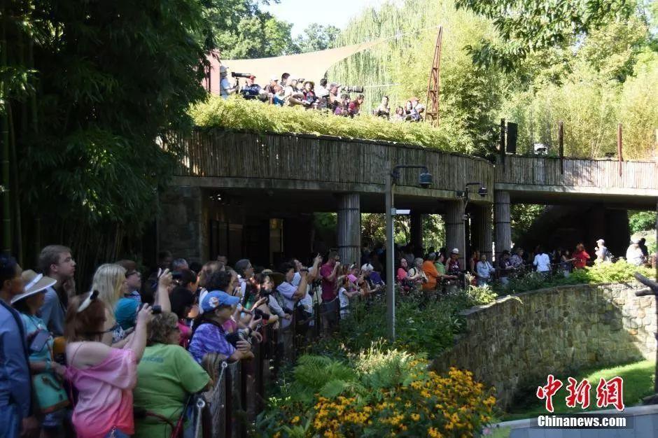 """资料图:众多美国民众前往华盛顿国家动物园观看大熊猫贝贝的""""抓周""""活动。中新社记者 刁海洋 摄"""