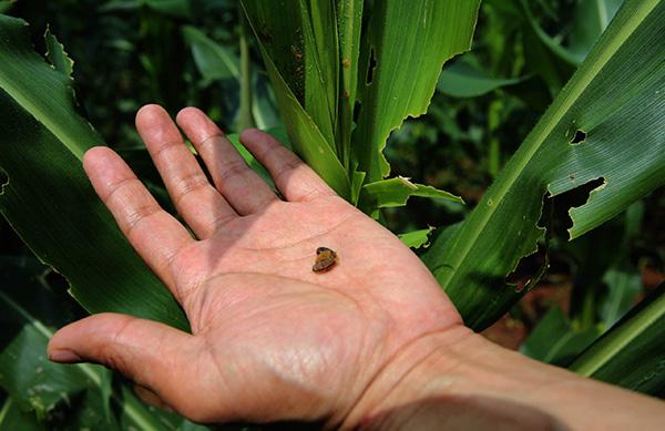 农技人员发现草地贪夜蛾。东方IC 原料