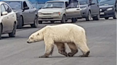 北极熊正在穿越俄罗斯诺里尔斯克市的一条公路(图源:美国福克斯新闻网)