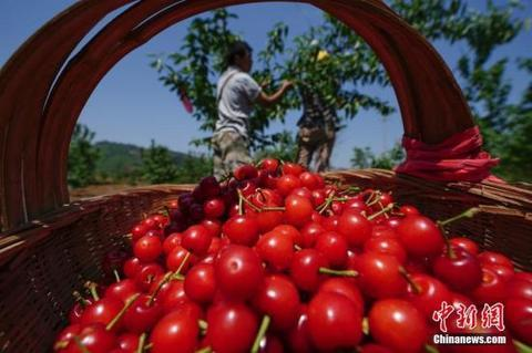 资料图:果农在采摘樱桃。时中新社记者 贺俊怡 摄