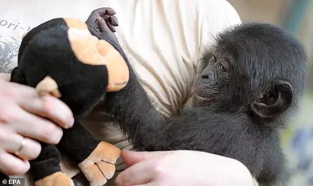 英国猩猩被德国猩猩组团欺负,25万英国人请愿将其接回