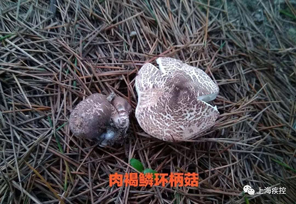 上海市疾控核心泄漏,以往上海产生 的蘑菇中毒事件以肉褐鳞环柄菇为多见。 上海市疾控核心 供图
