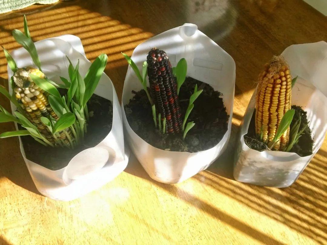 玉米棒子插水里,7天冒出小森林!这些种子养成盆栽原来这么美
