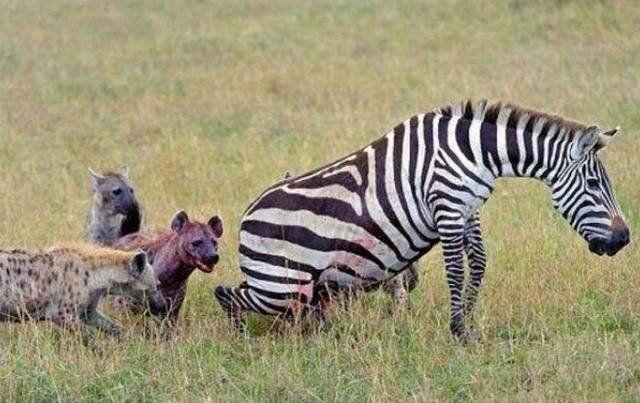 怀孕斑马惨遭鬣狗接生 含泪求助摄影师 摄影师却两腿一紧