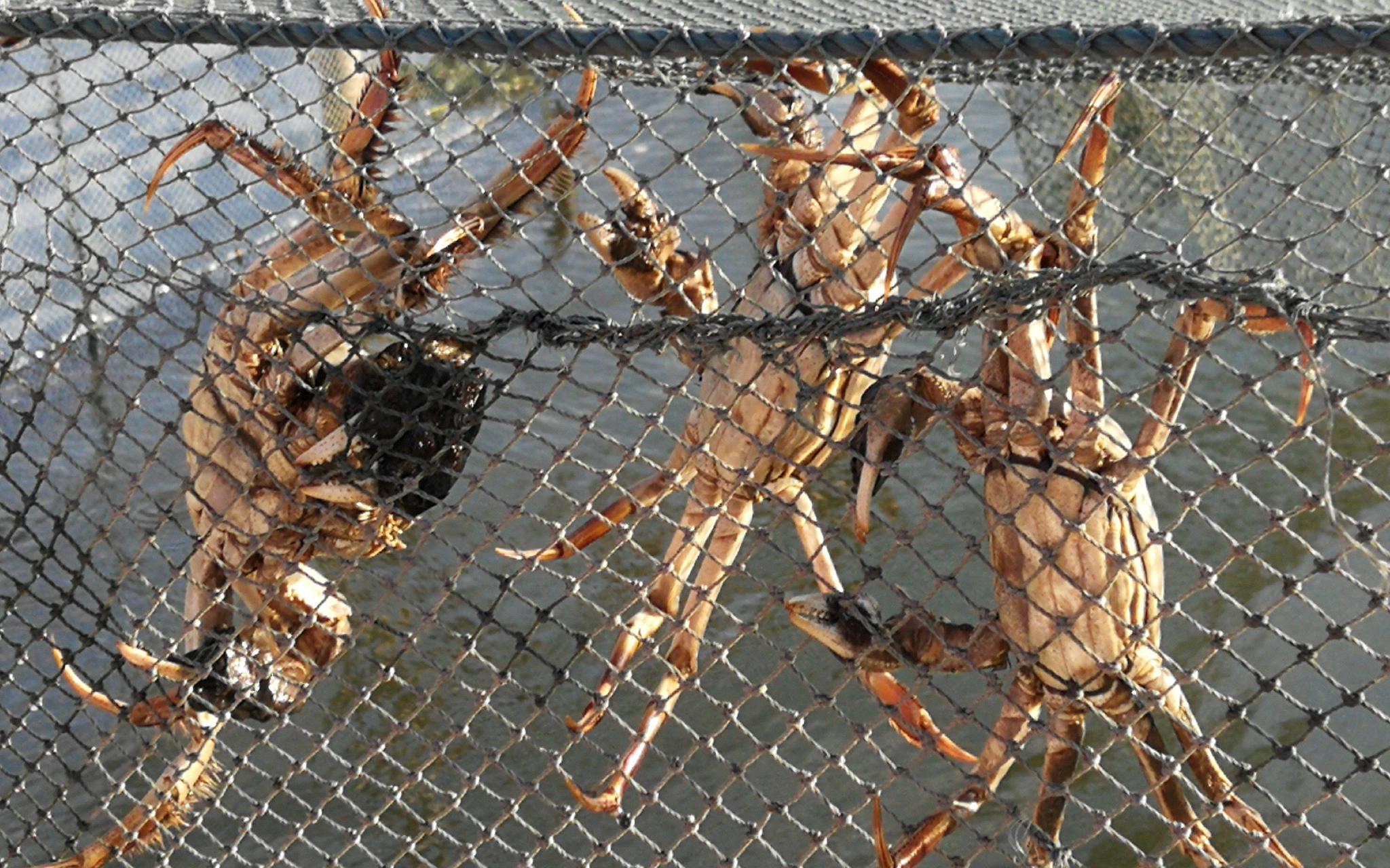 ▲买了保险的大闸蟹。图片来源:新京报网