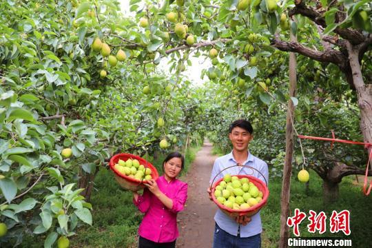 库尔勒城郊的沙依东园艺场一梨园里采摘工采摘的香梨。 杨厚伟 摄