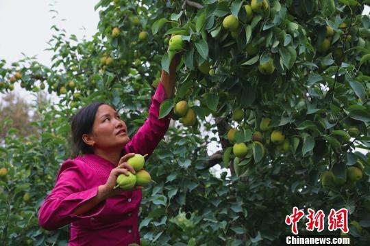 库尔勒城郊的沙依东园艺场一梨园里采摘工正采摘香梨。 杨厚伟 摄
