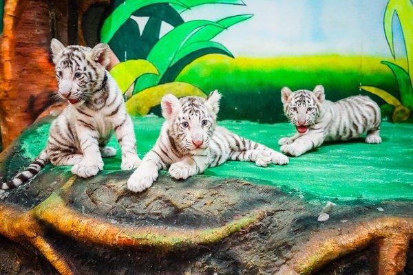清迈夜间野生动物园开放3只中泰混血白虎宝宝 | 美通社