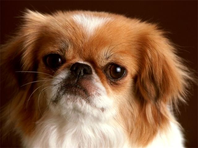 """国内土生土长的""""贵族""""犬,以前很让人羡慕,现在却很少能见到了"""
