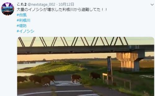 當地時間13日,日本利根川浮現出一群黑野豬,它們趟過河流跑過山坡,一路狂奔。圖片來源:社交媒體截圖。