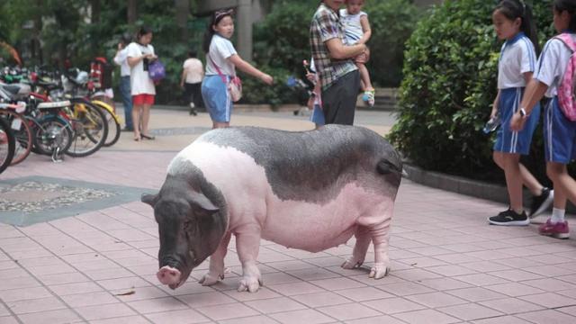 深圳女孩9年前买宠物猪,现长成300斤肥猪,会自己坐电梯上下楼