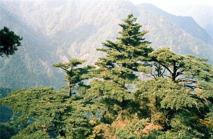 广西桂林有种树,每年只长三四片叶子