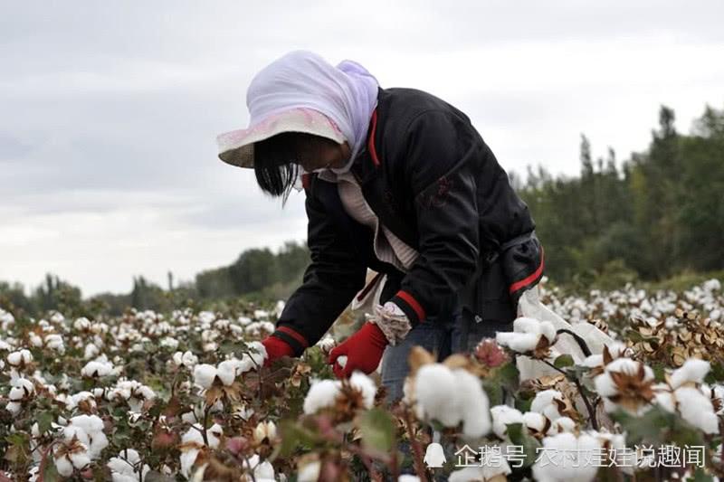 新疆采棉大军已消失,劳动力终将被机械代替,失业?不止这么简单