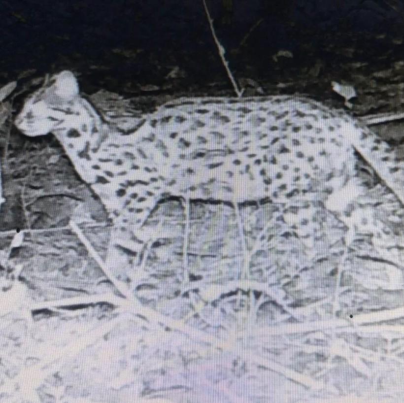 重要发现!赣州一自然保护区发现濒危动物豹猫(图)