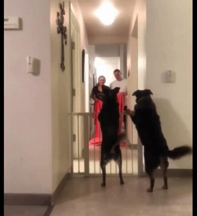 主人和两只狗狗玩消失游戏,它们的尾巴瞬间停止摆动,目瞪尾呆?