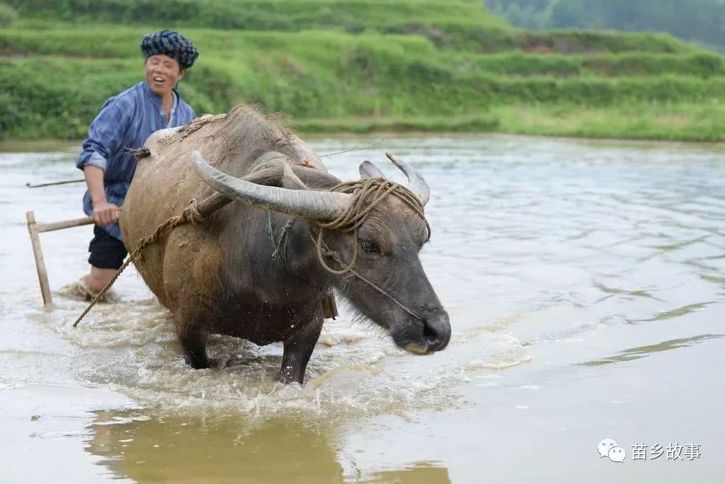 农夫与耕牛囹?a_当机器代替了耕牛,用牛犁田就越发少见了