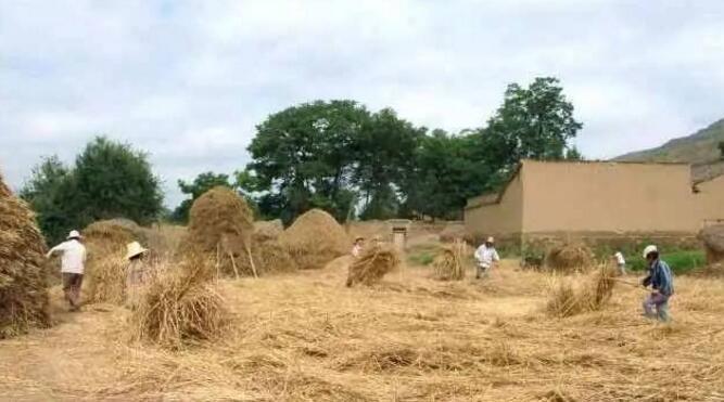 农村大奶草垛性爱_作为农村人,你还记得那年割麦,打场,扬场,堆草垛的情景吗!