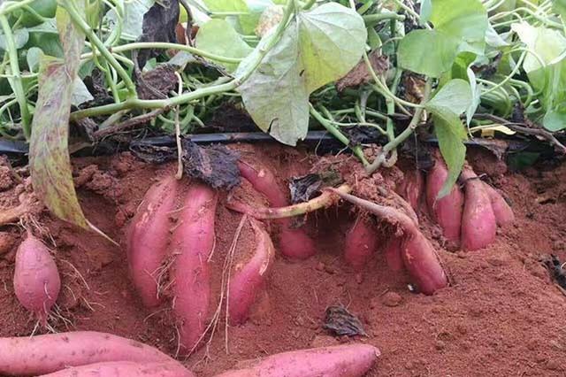 地瓜叶子黄打什么药?地瓜重茬根腐的预防,地瓜黄叶用什么肥