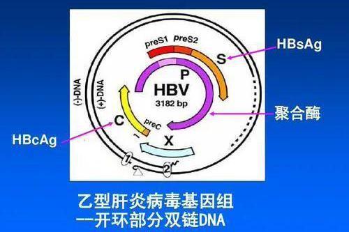 乙肝超敏LAMP-Cas12a,我国科学家开发,快速准确低成本检测法