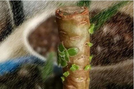 多肉植物砍头促侧芽有讲究,砍对砍错区别很大!