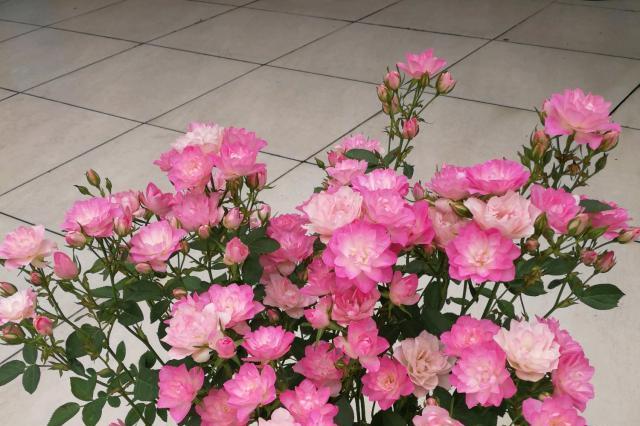 最美的盆栽花,一年能开300多天,花多易爆盆,仙气十足人见人爱