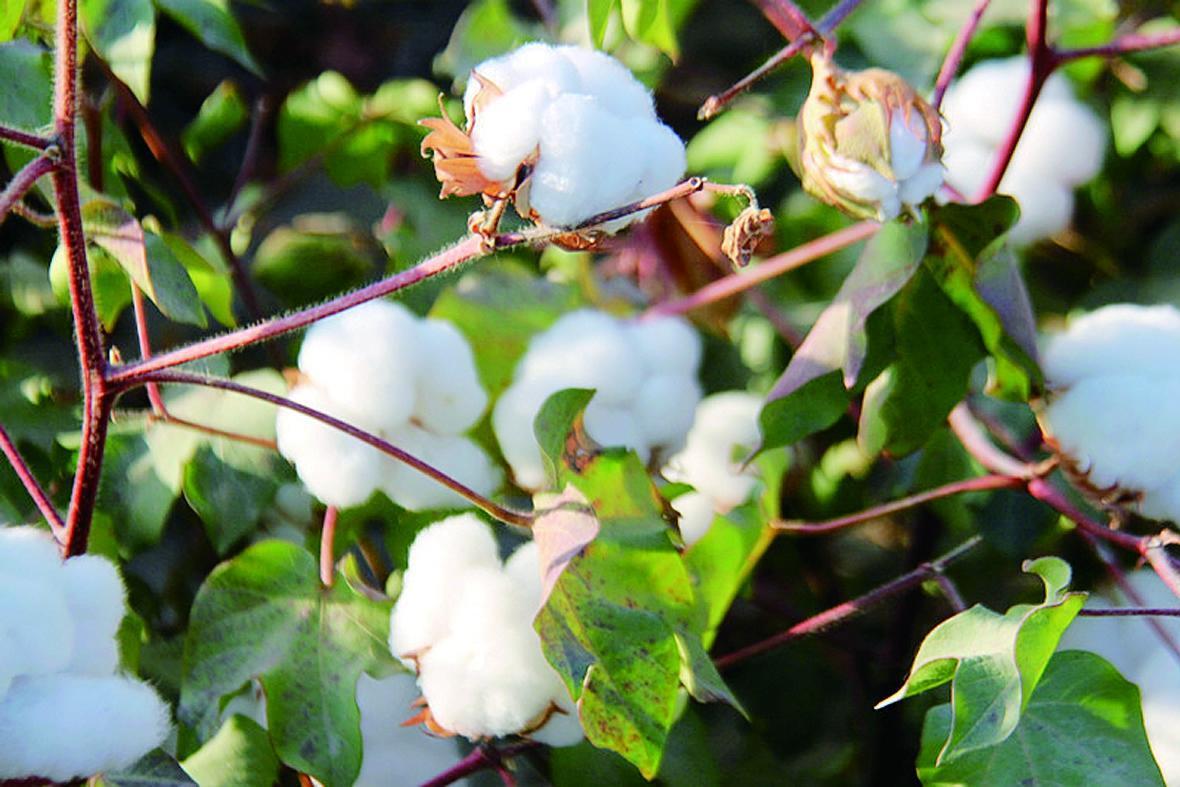 前4月我国进口棉花约120.1万吨,增长63%!美国仍是最大进口渠道