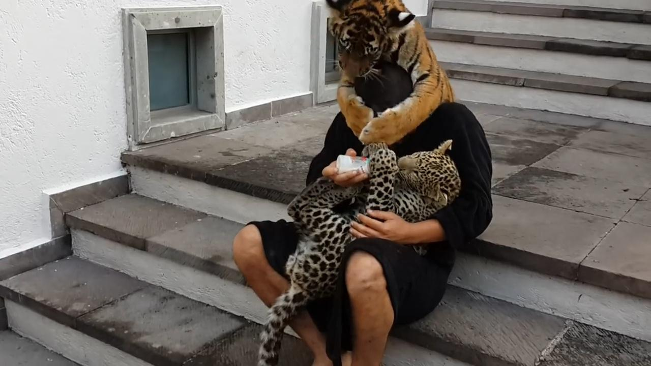 飼養員給小花豹餵奶,一旁的小老虎生氣了,接下來請不要笑