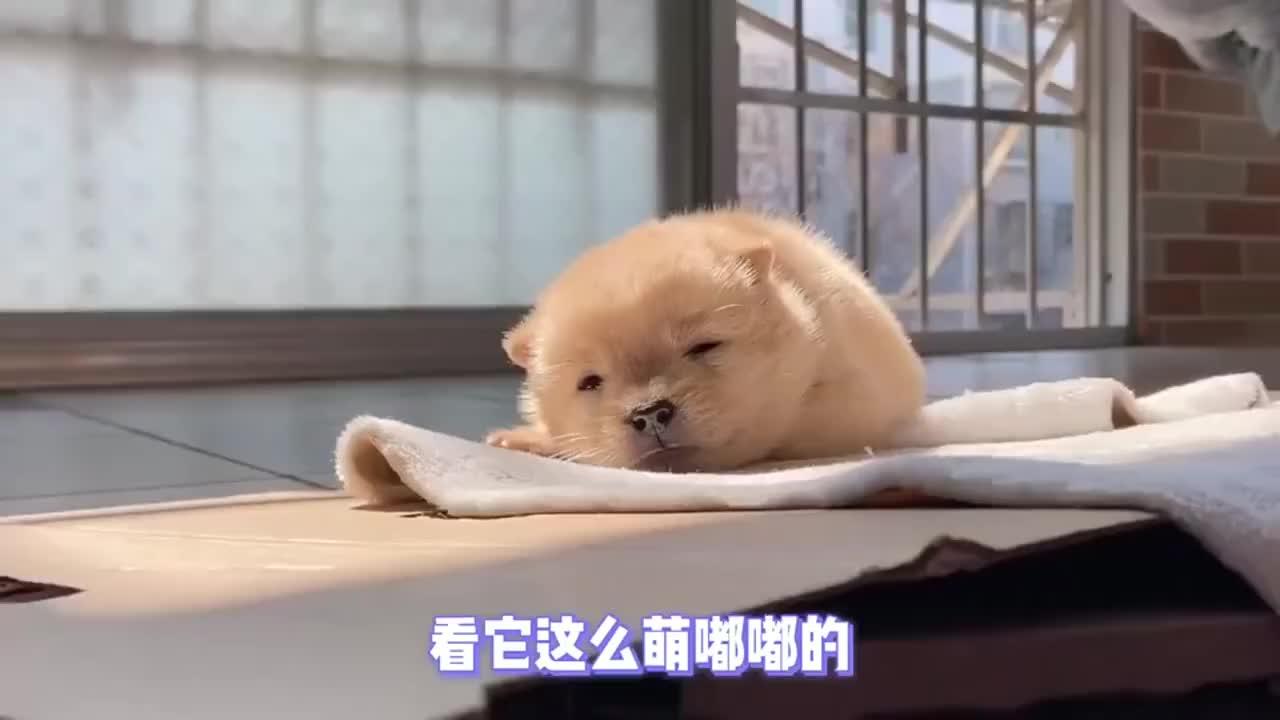 每一秒都想截图偷懒睡觉的小奶狗超萌超治愈