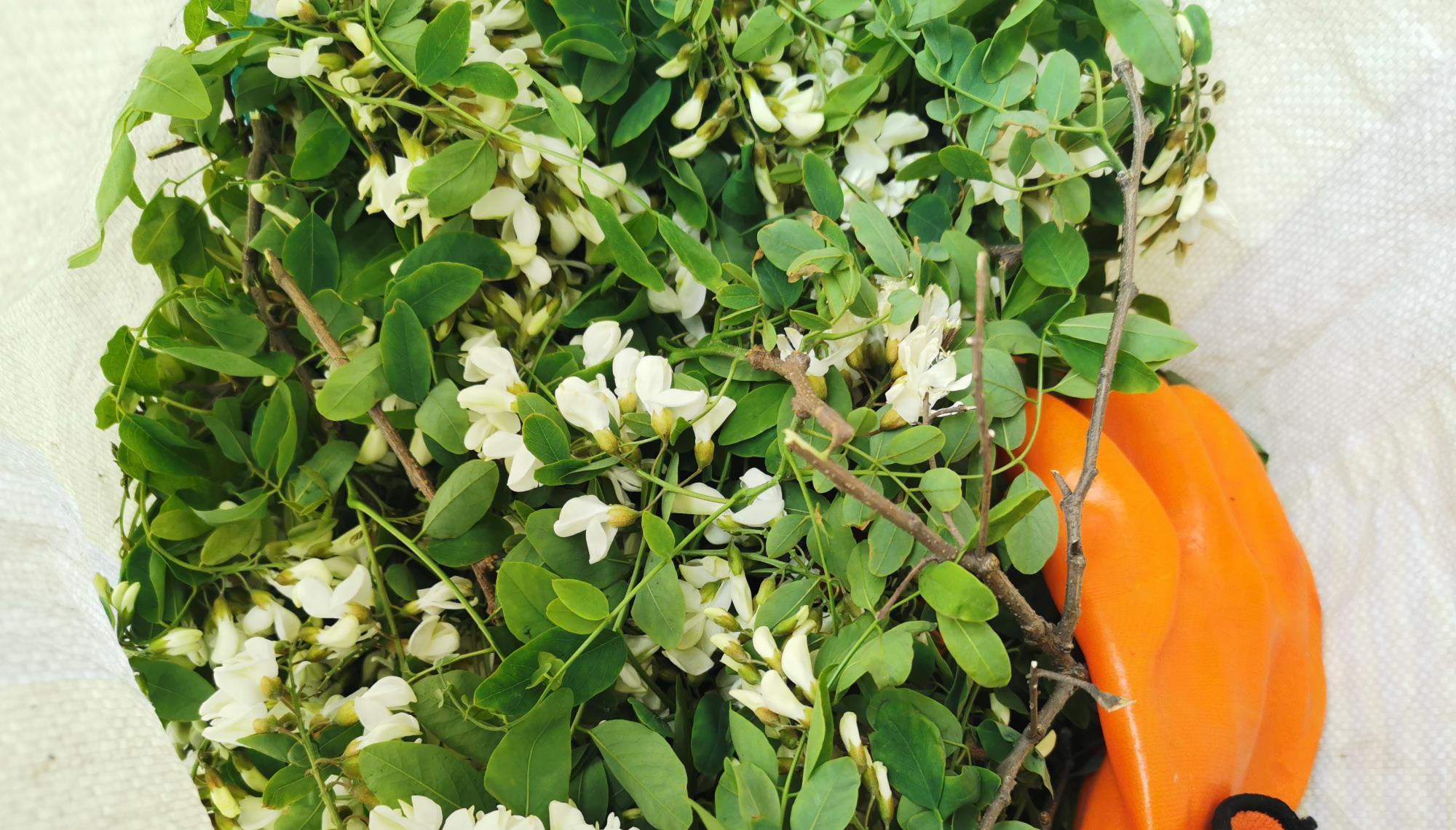 立夏前后,采槐花正当时!用这个方法保存槐花能吃一个夏!