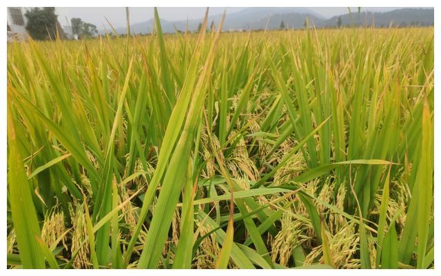 《【无极2app登录】中晚籼稻价格上涨,大家收益如何?有人忧有人喜,增收关键在选种》
