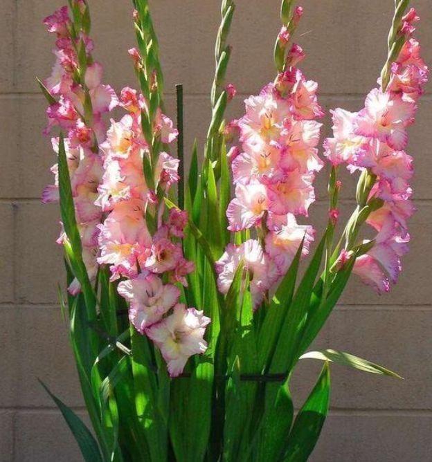 几款花卉,好养易活颜值高,花期长达200天,阳台养出小花园