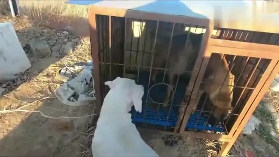马犬被杜高犬堵在笼子口挑衅,主人快放我出来,看我怎么教育它!