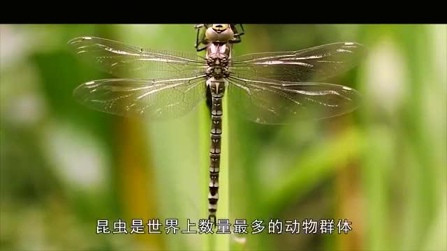 水虿一年能吃3000只蚊子,8年才能长大,却被当成美食端上餐桌!