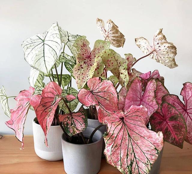 颜值超高的观叶植物花叶芋,叶片比花朵还美