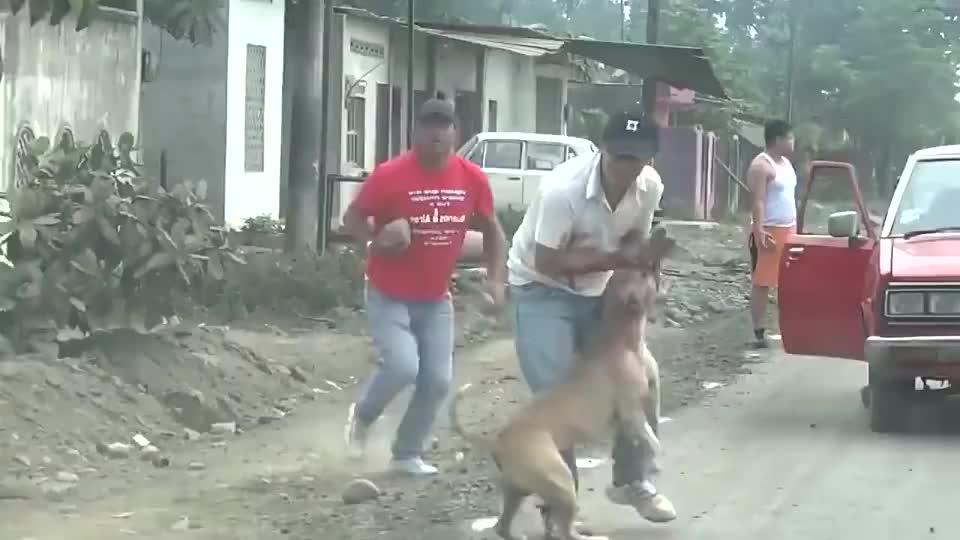 比特犬发狂咬人,同伴着急用大石头砸狗