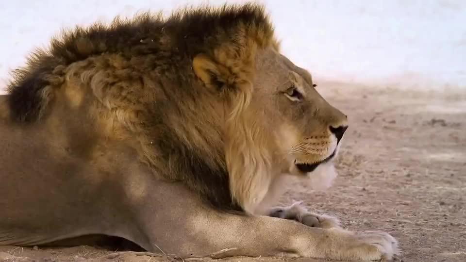 草原霸主雄狮生死,只在一瞬间王者风范舍我其谁