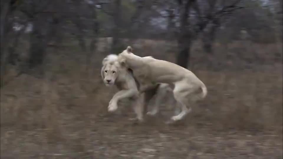 白狮子威武霸气全球不足100只,比大熊猫数量还少