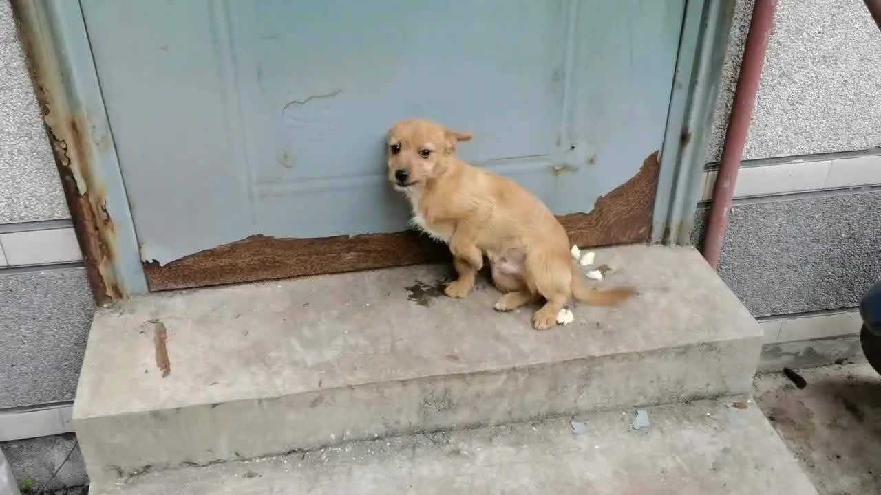 被领养的小奶狗跑了几公里自己回来了这狗狗太忠诚了