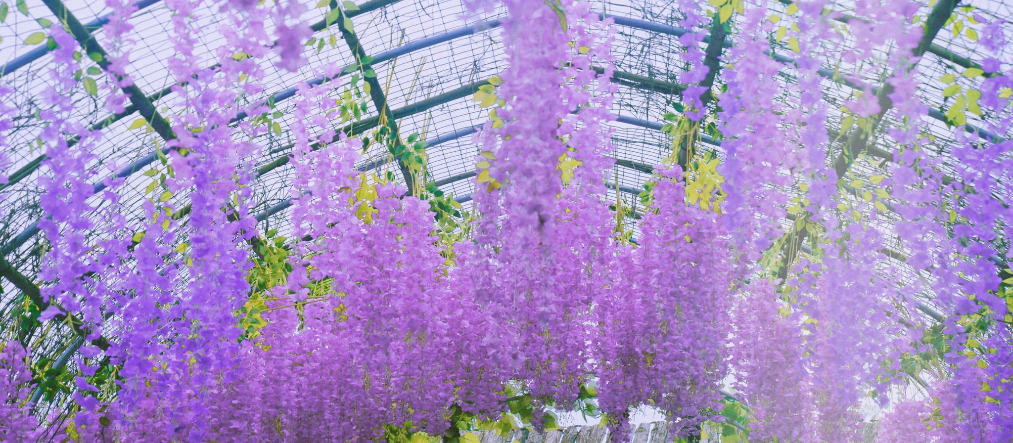 来屯之谷,找回属于紫色的浪漫与宁静