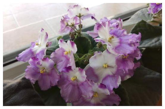 居家养这几款植物,四季开花不断,花大色艳胜玫瑰,娇小不占地