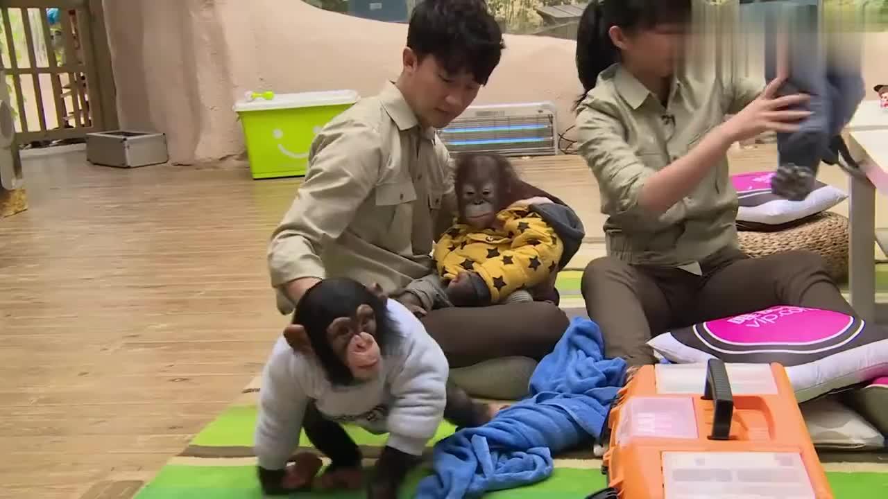 奇妙的朋友:胡杏儿被小猩猩抓伤,一句怨言都没有,自己默默处理