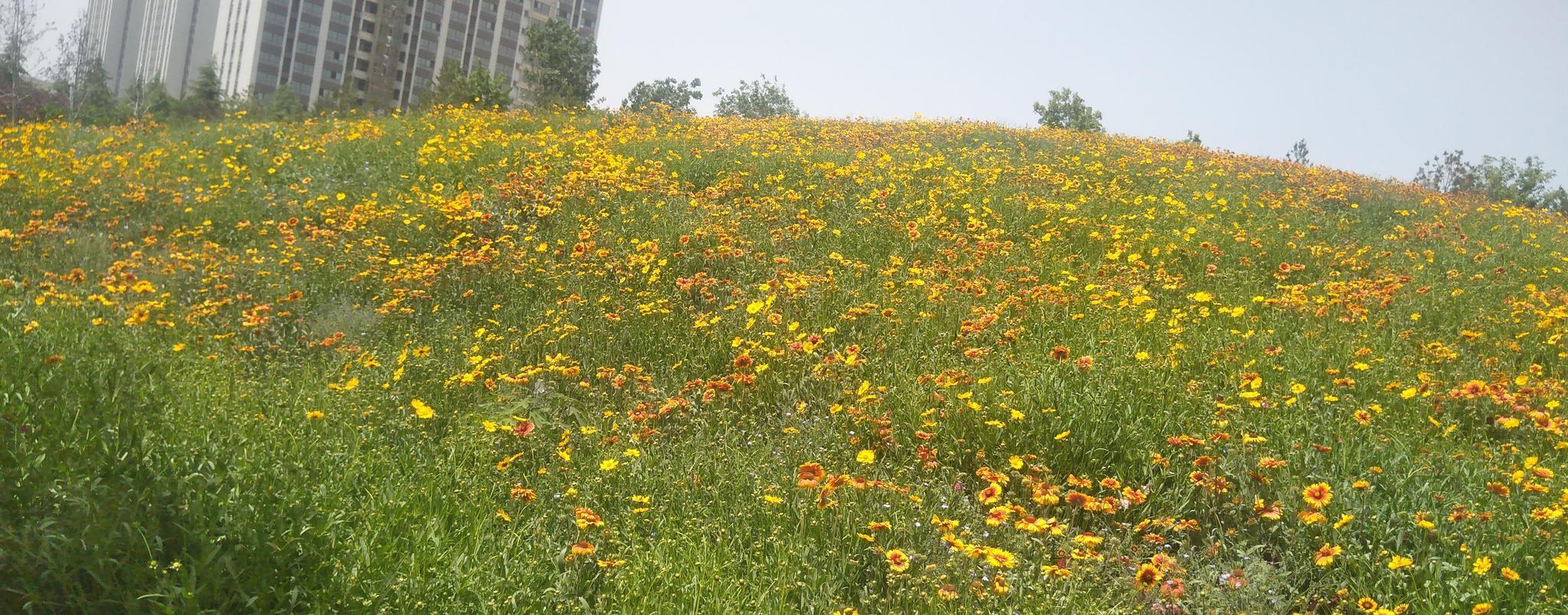 郑州雕塑公园,有一片美丽的花海