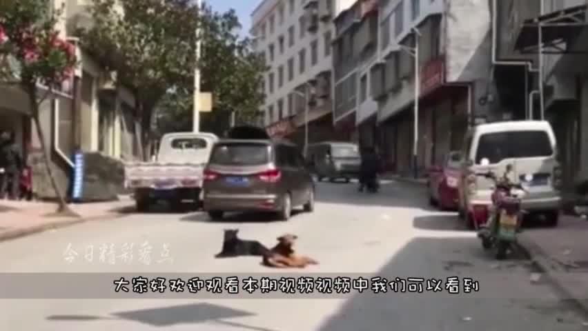 这俩狗子分明就是两个大爷,啥车过来都不让,真是惹不起