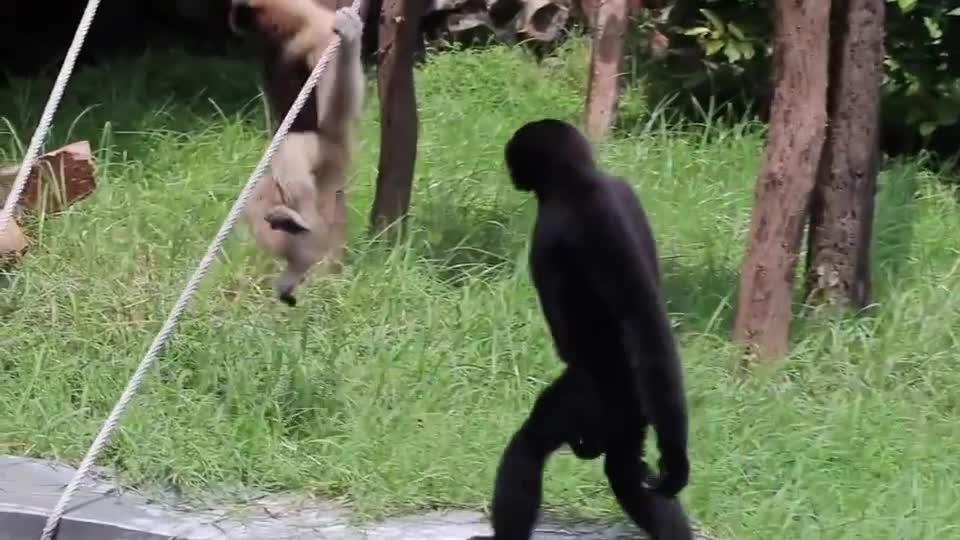 猴子走起路来一扭一扭的,学得人模人样