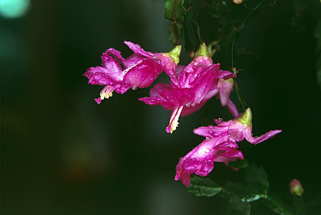 喜欢菊花,不如养盆珍惜蟹爪兰,鲜艳夺目无比可爱,似蝴蝶飞舞