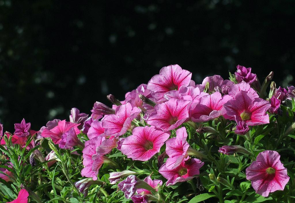 喜欢兰花,不如养盆精品矮牵牛,花色鲜艳璀璨,似烈火般浓烈