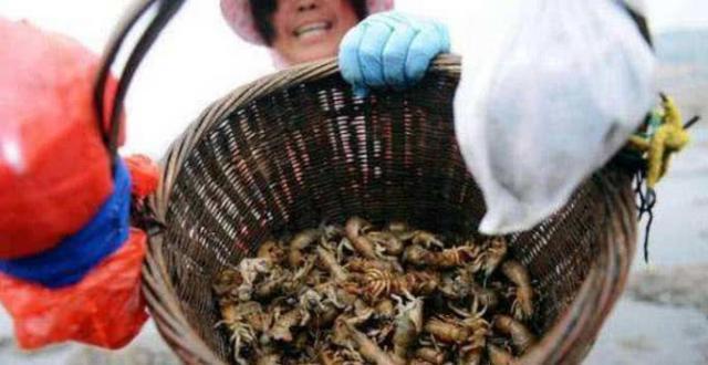 曾经火爆北方的蝼蛄虾,5块钱一斤,现国内没人吃,外国人吃得欢