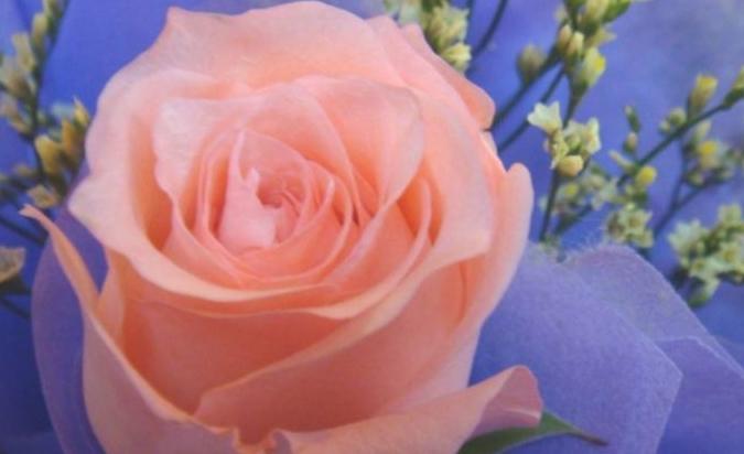 """爱上养花,首选""""精品玫瑰""""倾城之念,美艳妖娆,倾国倾城"""