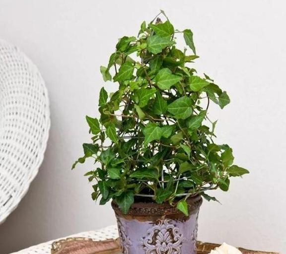 盆栽常青藤养在家里特容易叶黄,枝条不断干枯,做好两点可解决